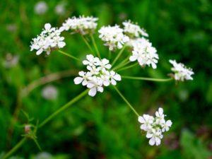 Ядовитые травы от рака